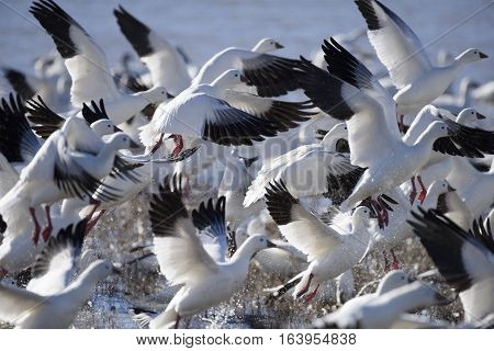 Snow Geese Taking Off in Flight at Bosque del Apache Wildlife Reserve