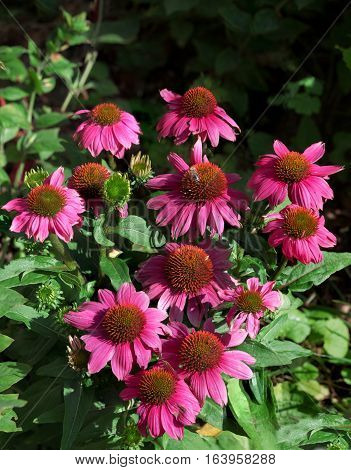Echinacea Bush With Blossoms, In The Garden