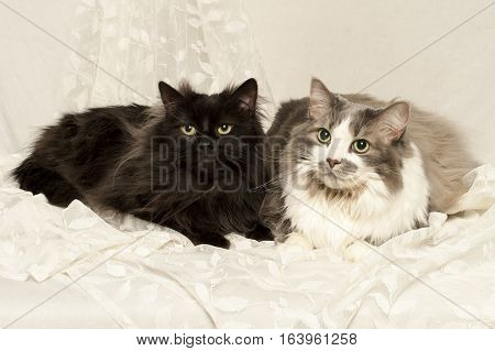 A gray cat and a calico lay together on lace drape.