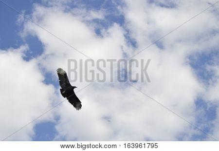 Black Vulture Latin name Coragyps atratus flying