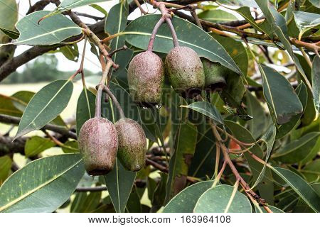 Gumnut seed pods on eucalyptus gum tree