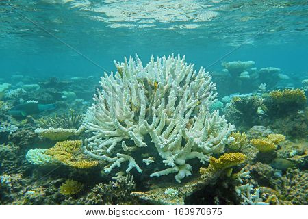 coral reef with white stony coral and exotic fishes in tropical sea