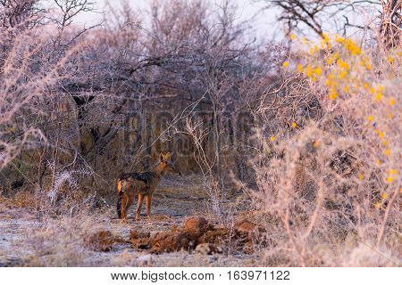 Spotted Hyena Standing In The Bush At Sunrise. Wildlife Safari In Kruger National Park, The Main Tra