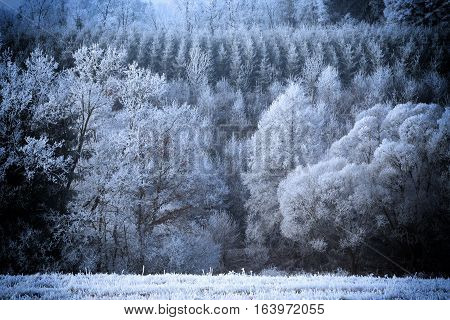 Forest with a rime snow winter january