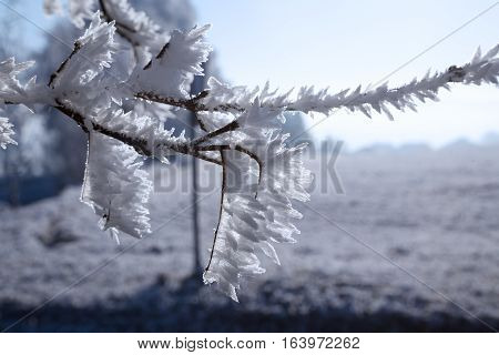 Rime on a branch winter snow january