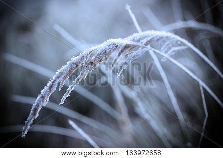 Frozen plant with a rime winter snow january