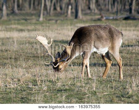 Fallow deer buck grazing in winter field.