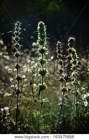 The portrait of morina an herbaceous plant in the middle of a wild meadow in the backlight.