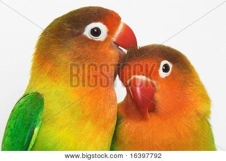 Pair of little lovebirds poster