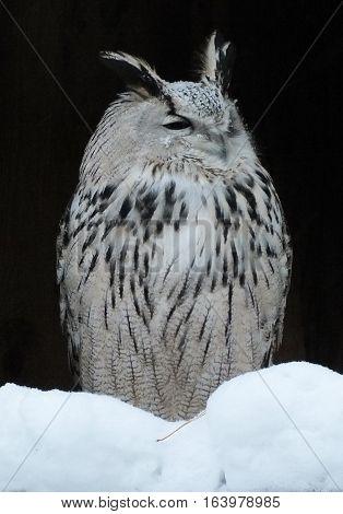 Eurasian eagle owl in winter, bird hunter