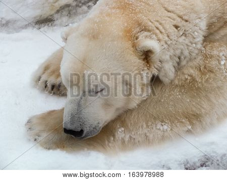 Sleeping polar bear (ursus maritimus) in winter