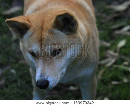 A dingo looks focussed on his food
