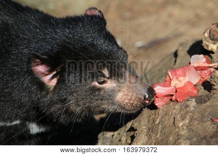 Tasmanian devil eating some raw food on a rock