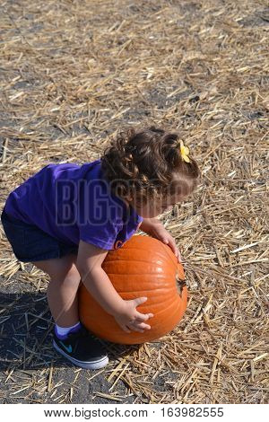 An adorable little girl picking a pumpkin half her size from the pumkin patch for halloween