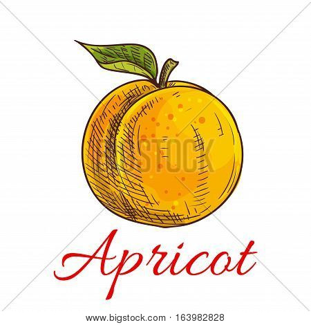 Apricot. Isolated apricot fruit with leaf and stem. Product emblem for juice or jam label, packaging sticker, grocery shop tag, farm store