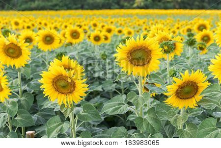 beautiful blooming sunflower field, agriculture plant in Lop buri, Thailand