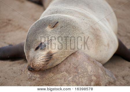 Sleeping seal, Skeleton Coast, Namibia