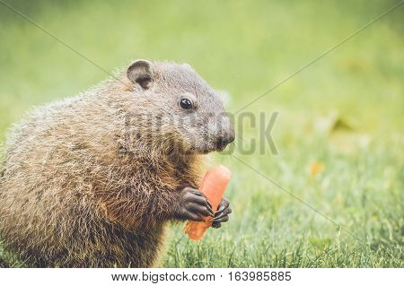 Adorable young groundhog holding and eating a carrot in grass field
