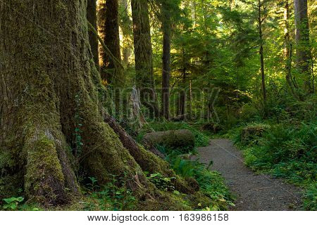 Moss-covered trunk of a large tree by path in the Quinault Rainforest Washington