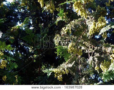 Berries ripen on the branches of a juniper (unripe fruit). Closeup. Summer, August. ABRAU DURSO, RUSSIA.