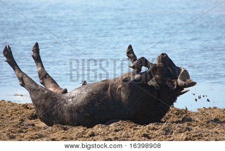 Wild buffalo wallowing in the mud, Chobe N.P., Botswana