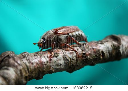 A Magnificent Cockchafer Insect Beetle