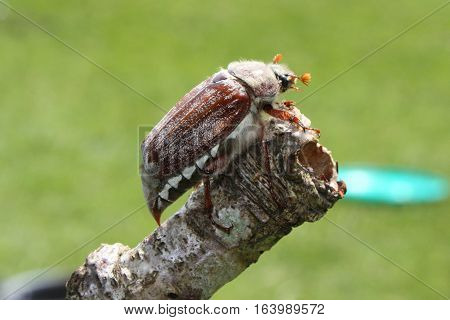 A large majestic cockchafer insect beetle on a stick
