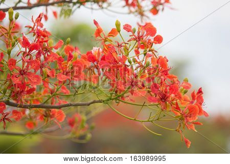 Cassia fistula flower or delonix regia or red flower with blue sky cloud on the background.