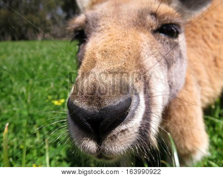 Curious Australian red kangaroo close up nose