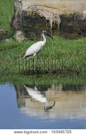 Black-headed ibis in Arugam bay lagoon, Sri Lanka ; specie Threskiornis melanocephalus family of Threskiornithidae