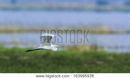 Great heron in Arugam bay lagoon, Sri Lanka ;specie Ardea alba family of ardeidae