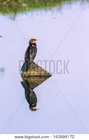 Indian cormorant in Arugam bay lagoon, Sri Lanka ;specie Phalacrocorax niger family of Phalacrocoracidae