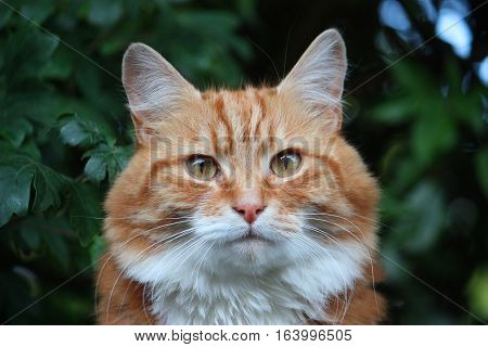 Beautiful long haired ginger domestic cat sat on a fence