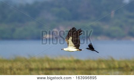 White-bellied sea eagle in Arugam bay lagoon, Sri Lanka ;specie Haliaeetus leucogaster family of Accipitridae