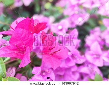 Flowering bougainvillea.Pink Bougainvillea Flowers in Garden, Thailand.