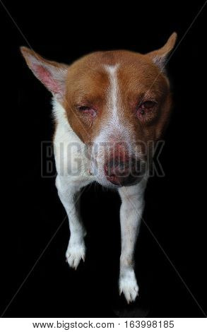 sick old homeless dog on black background
