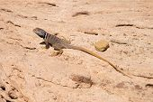 great basin collared lizard or Crotaphytus bicinctores on a rock in the Grand Canyon of Arizona poster