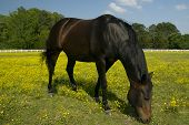A large black horse grazes peacefully in a flowery meadow poster