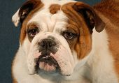 english bulldog female - red brindle and white - purebred champion poster