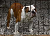 english bulldog standing behind fenced in area with stone base poster