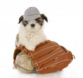 shih tzu puppy with baseball glove and ball with reflection on white background poster