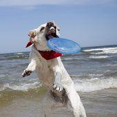 Labrador Retriever in action. poster