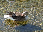 A goose swimming in a shallow pond. poster