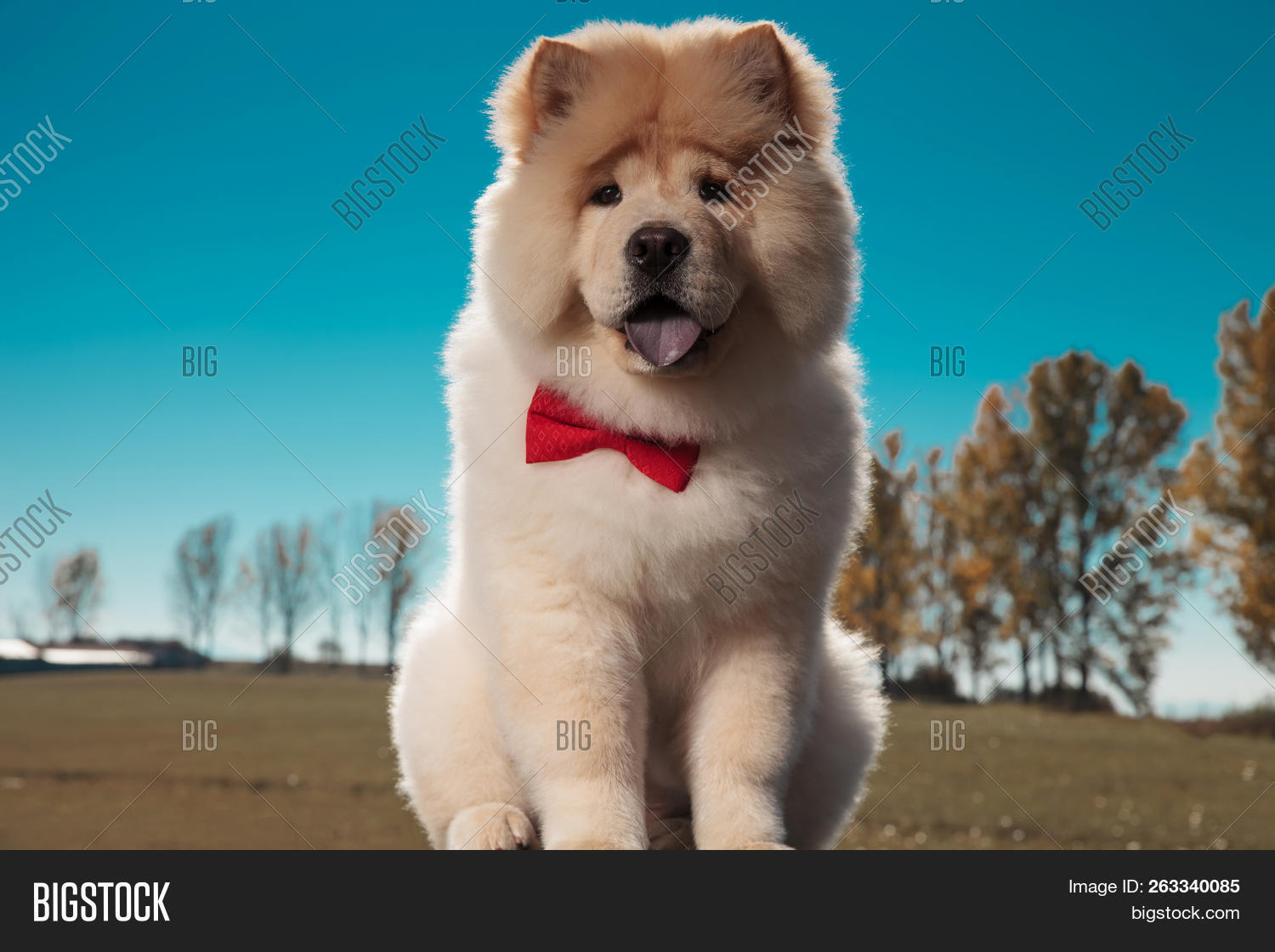 Cute Chow Chow Puppy Image Photo Free Trial Bigstock