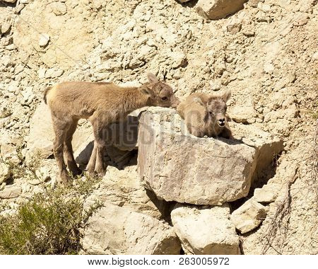 This Cute Pair Of Rocky Mountain Bighorn Lambs Are Resting Amongst The Rocky Ledges Near The Badland