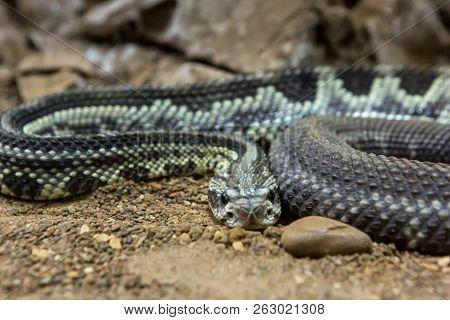 Rattlesnake, Crotalus atrox. Western Diamondback. Dangerous snake. poster