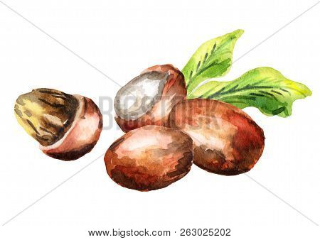 Shea Nuts. Watercolor Hand  Draswn Illustration, Isolated On Hite Background