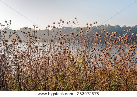 Withered brown hooked burs of greater burdock or Arctium Lappa plants growing in the wild at the edge of a Dutch lake in the autumn season. The photo was taken early in the morning of a sunny day. poster