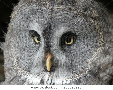Great Grey Owl, also known as Great Gray owl - Strix nebulosa poster