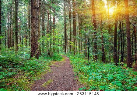 Pine Forest With The Last Of The Sun Shining Through The Trees. Scenic Natural Landscape. Sunlight I